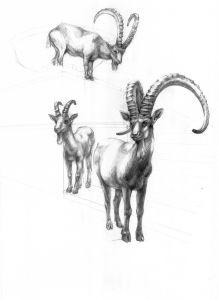 Ibex Study