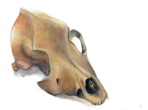 Coyote Skull Watercolor Study