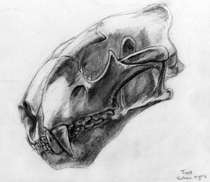 Tiger Skull Sketch